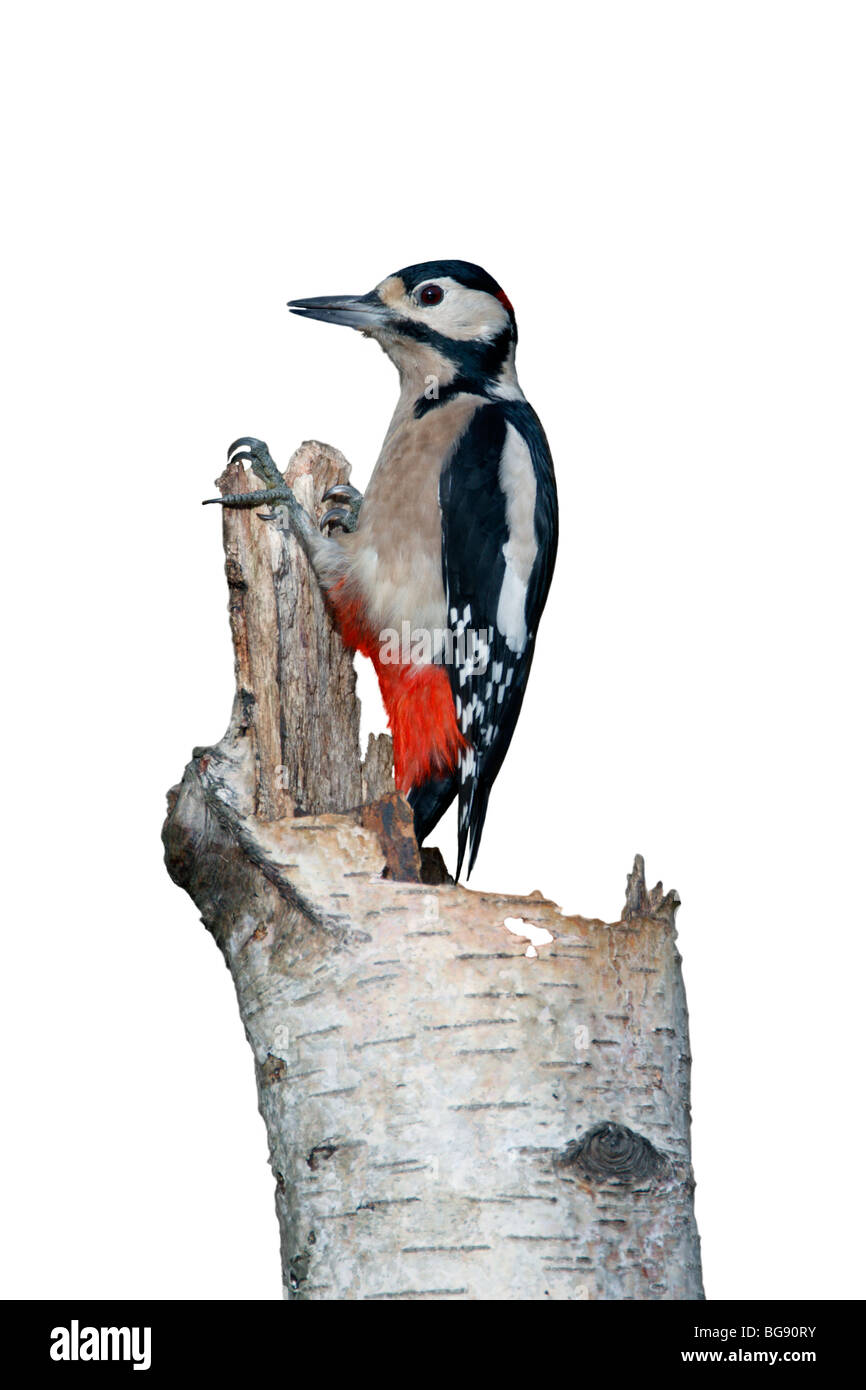 Greater Spotted Woodpecker Dendrocopos major - Stock Image
