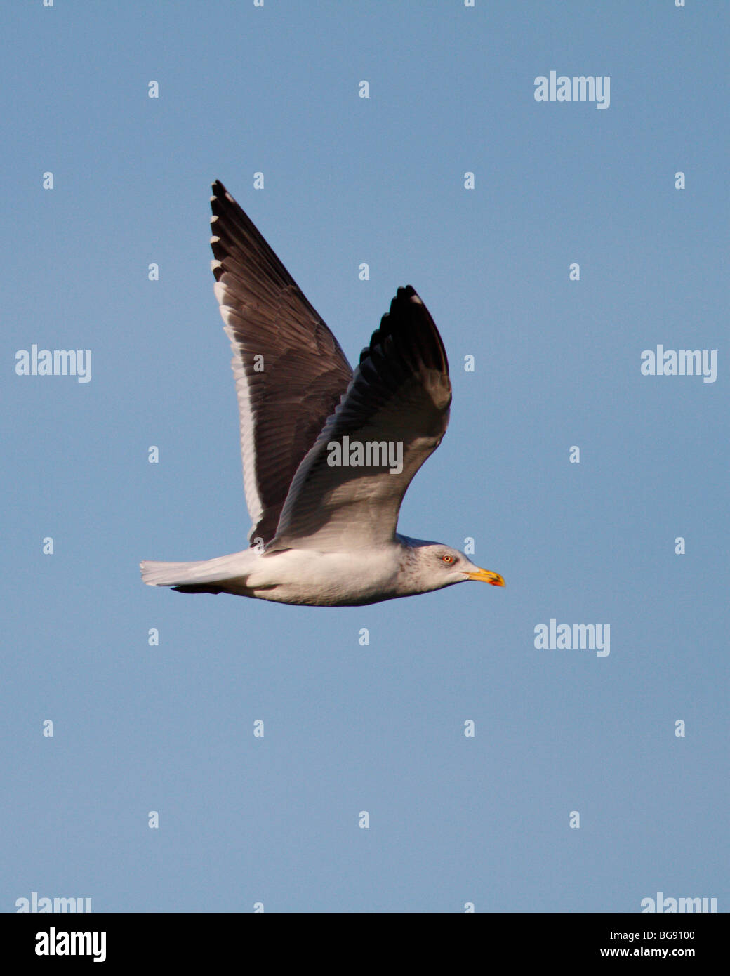 Lesser black-backed gull Larus fuscus in flight - Stock Image