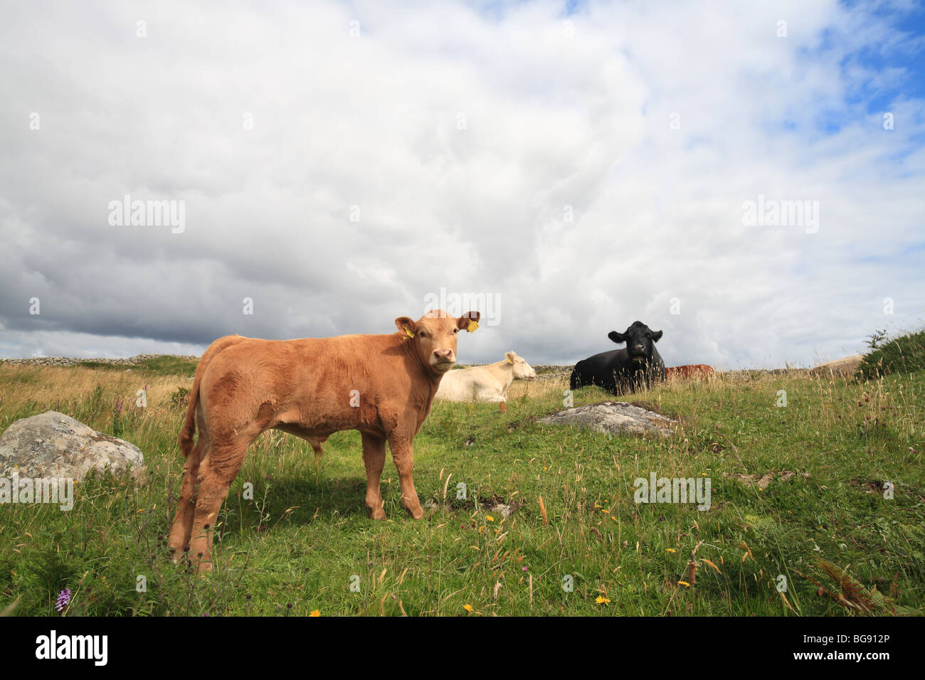 young fattening bull on grassland, Ireland - Stock Image