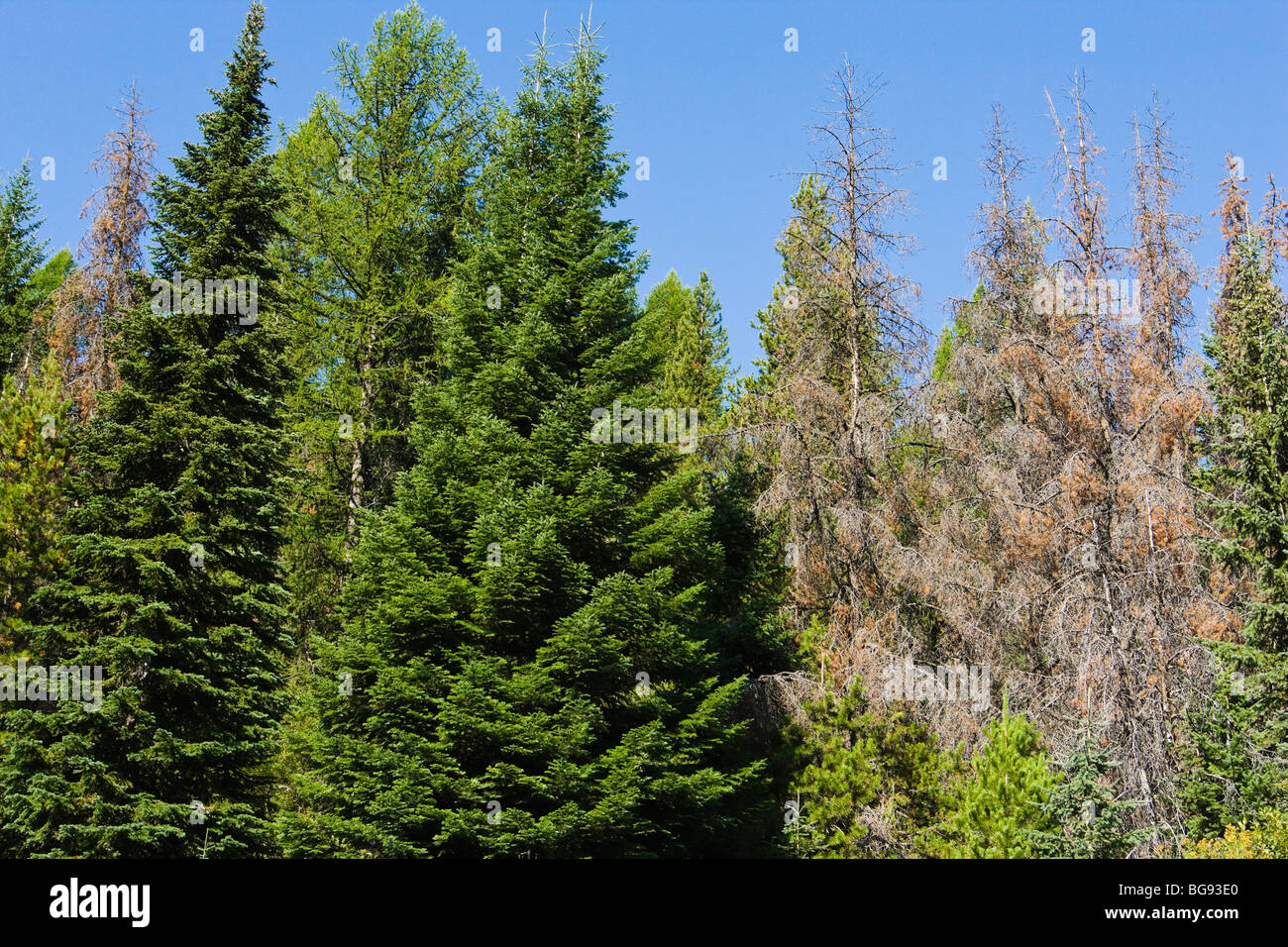 Conifer trees in Idaho. Some infested and killed by the Mountain Pine Beetle and some not. - Stock Image
