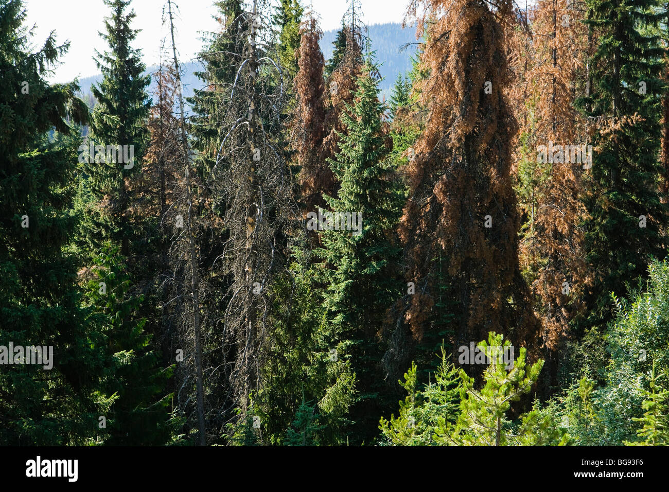 Conifer trees in Idaho infested by the Mountain Pine Beetle. - Stock Image