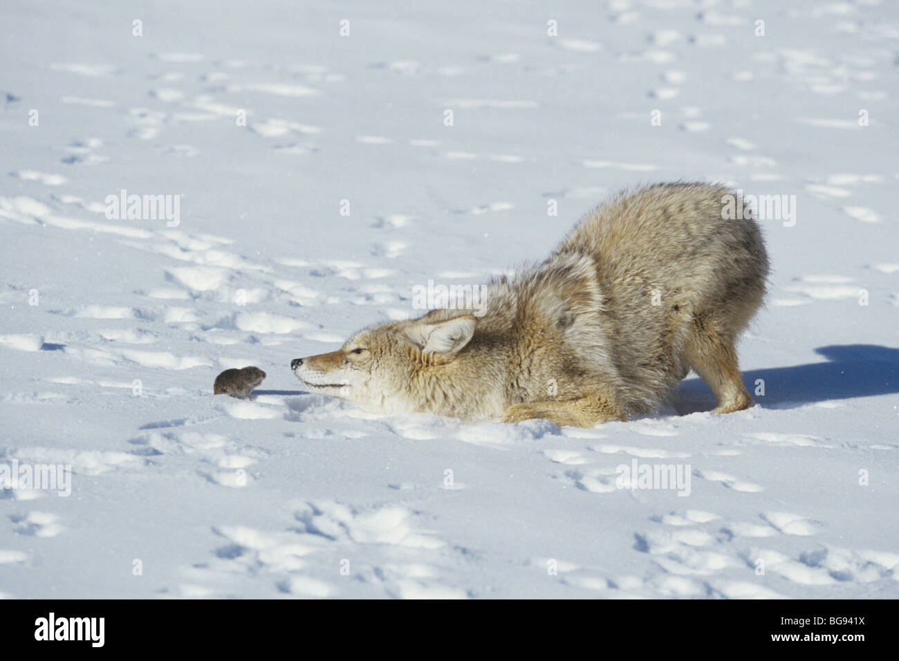 Coyote (Canis latrans), adult playing with vole prey, Yellowstone National Park, Wyoming, USA - Stock Image