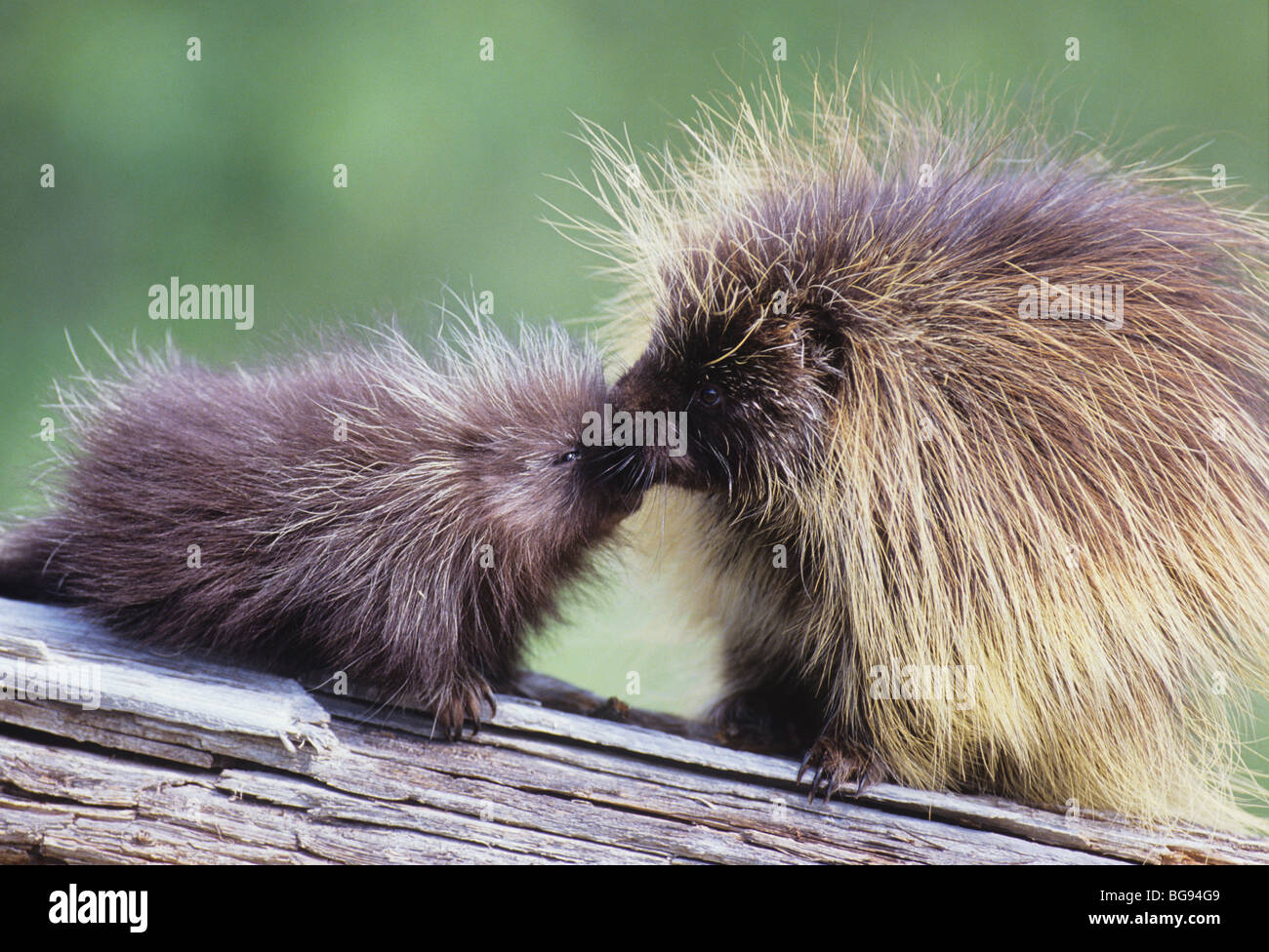 North American Porcupine (Erethizon dorsatum), mother kissing young, captive, USA Stock Photo