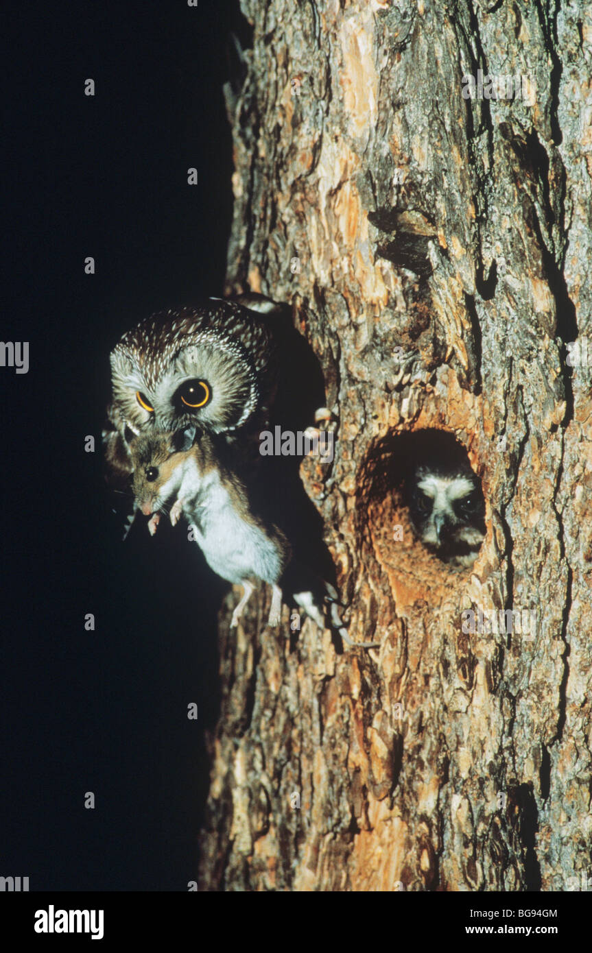 Northern Saw-whet Owl (Aegolius acadicus), adult bringing deer mouse to young, Colorado, USA - Stock Image