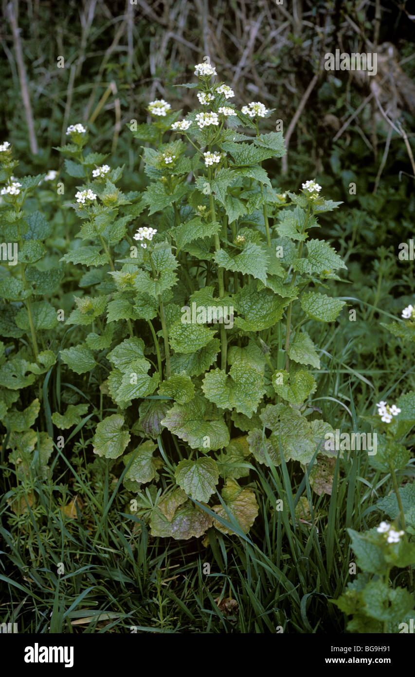 Jack by the hedge or garlic mustard (Alliaria petiolata) flowering plants Stock Photo