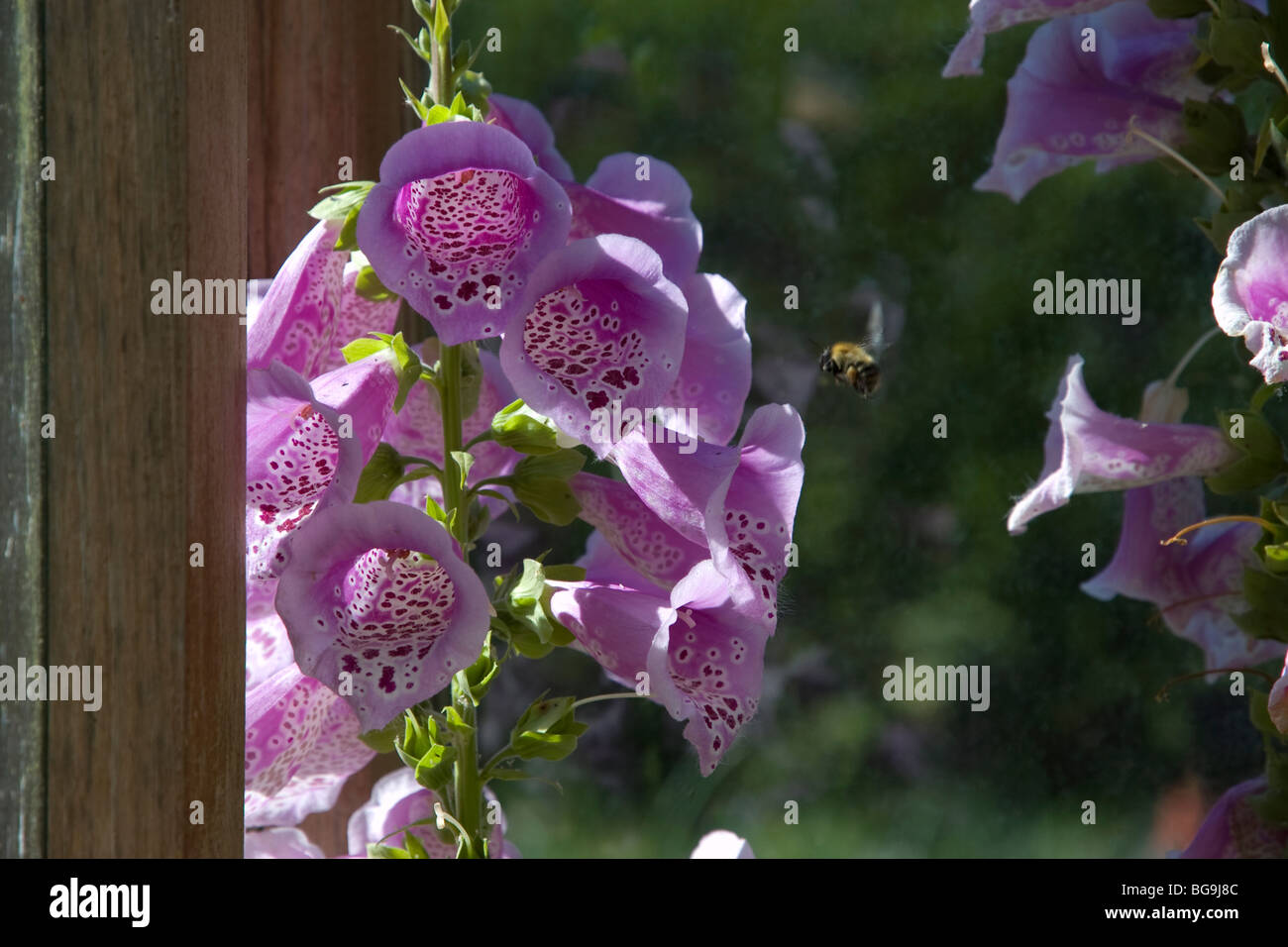 A bee collecting nectar from a foxglove flower. - Stock Image