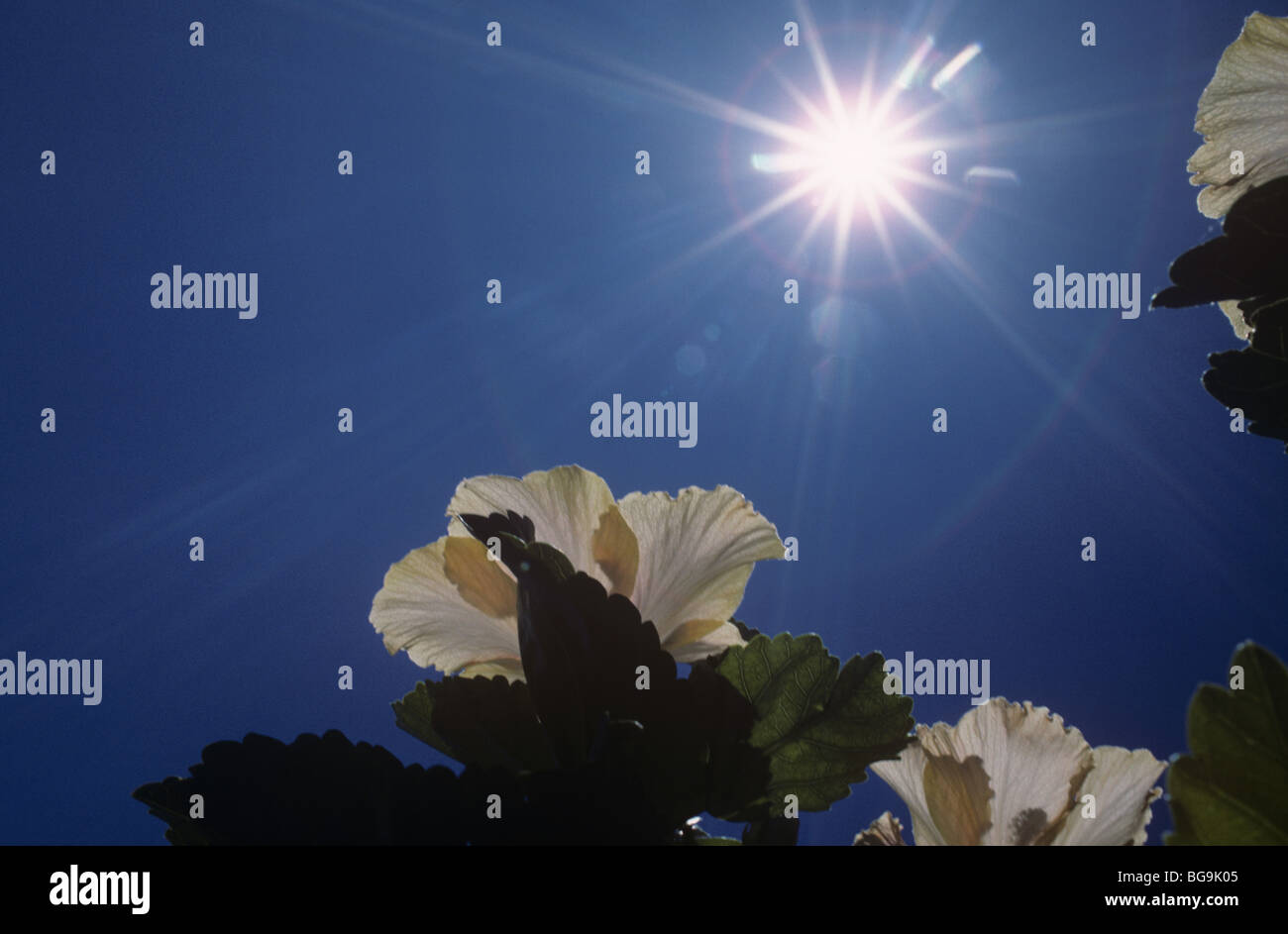 Hibiscus flower against the sun, South Africa - Stock Image