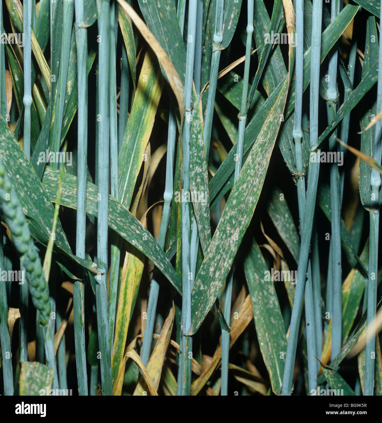 Powdery mildew (Erysiphe graminis) infection on a mature wheat crop - Stock Image