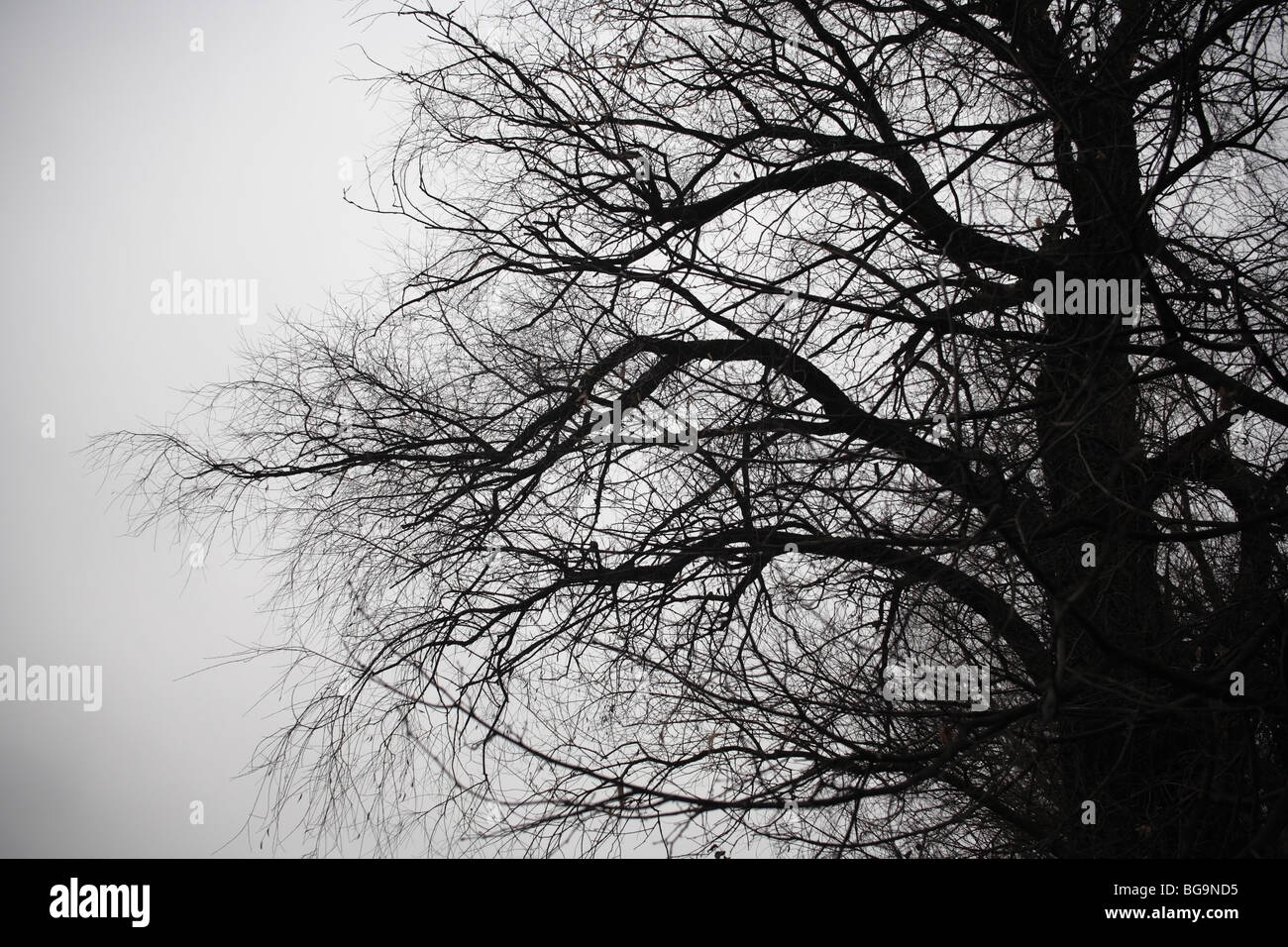 branches silhouette in overcast sky background - Stock Image