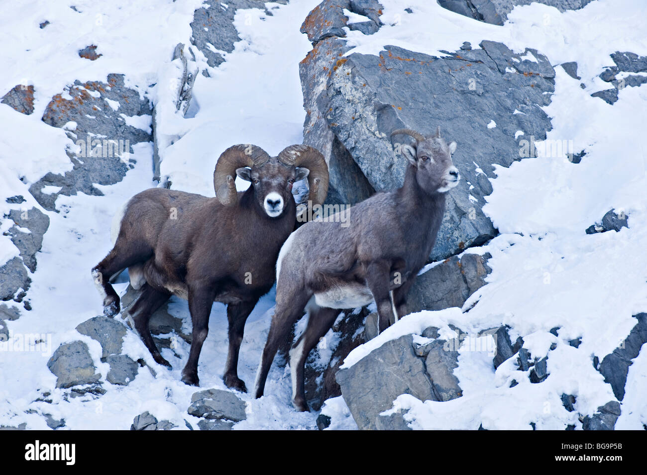 A male and female Bighorn Sheep Stock Photo