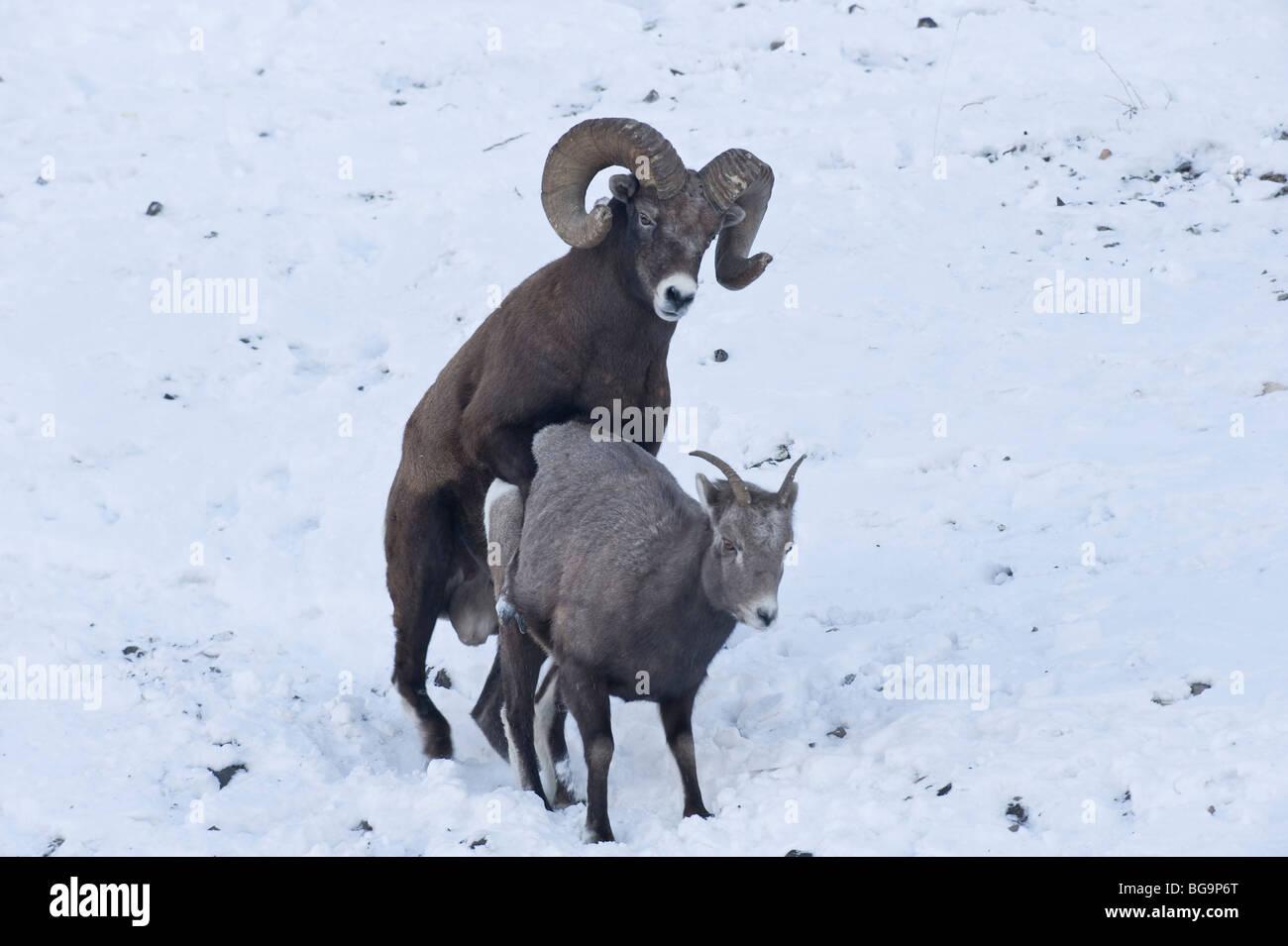 Bighorn Sheep mating - Stock Image