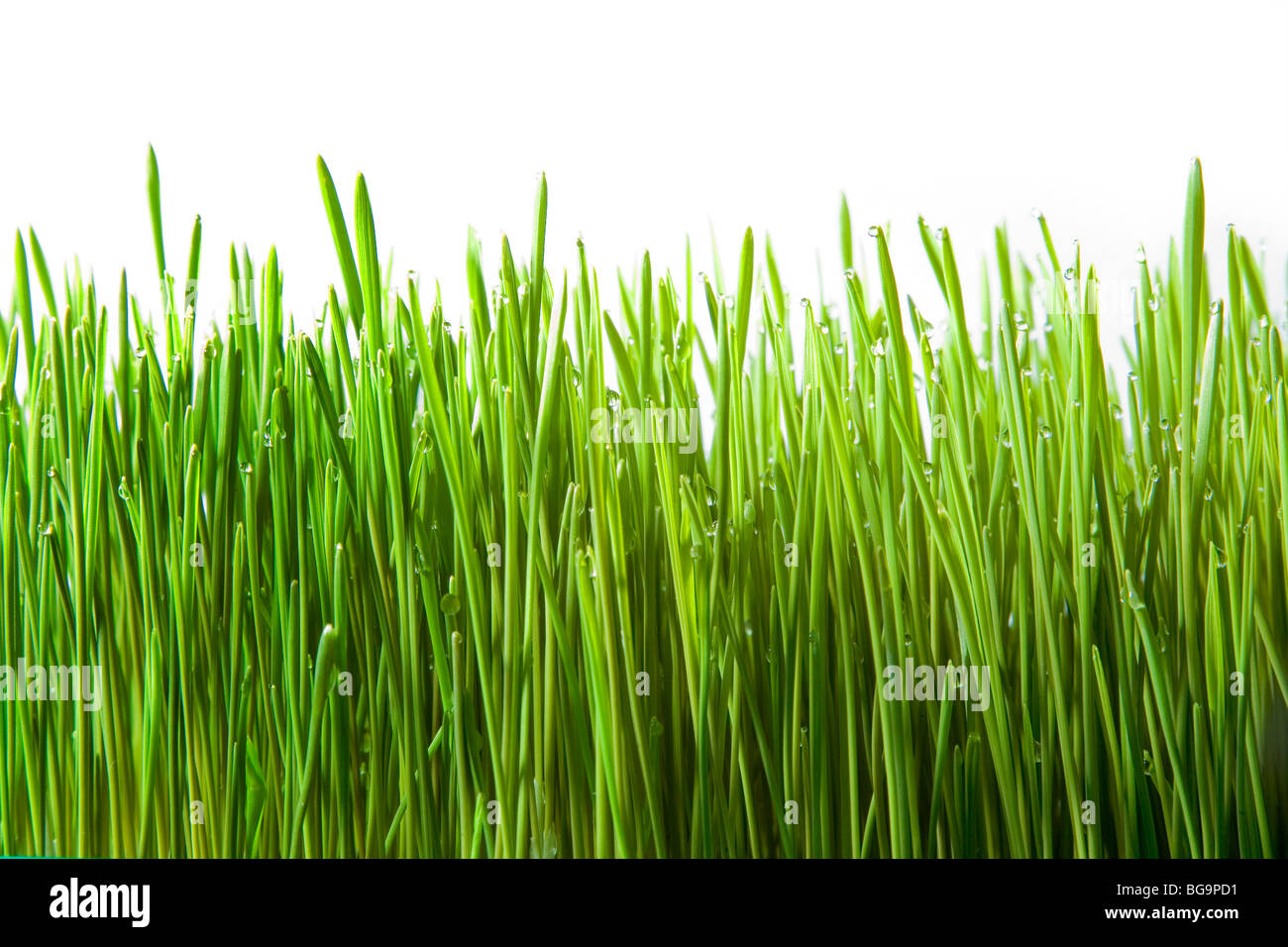 Fresh Green Wheatgrass Growing, on White Background - Stock Image