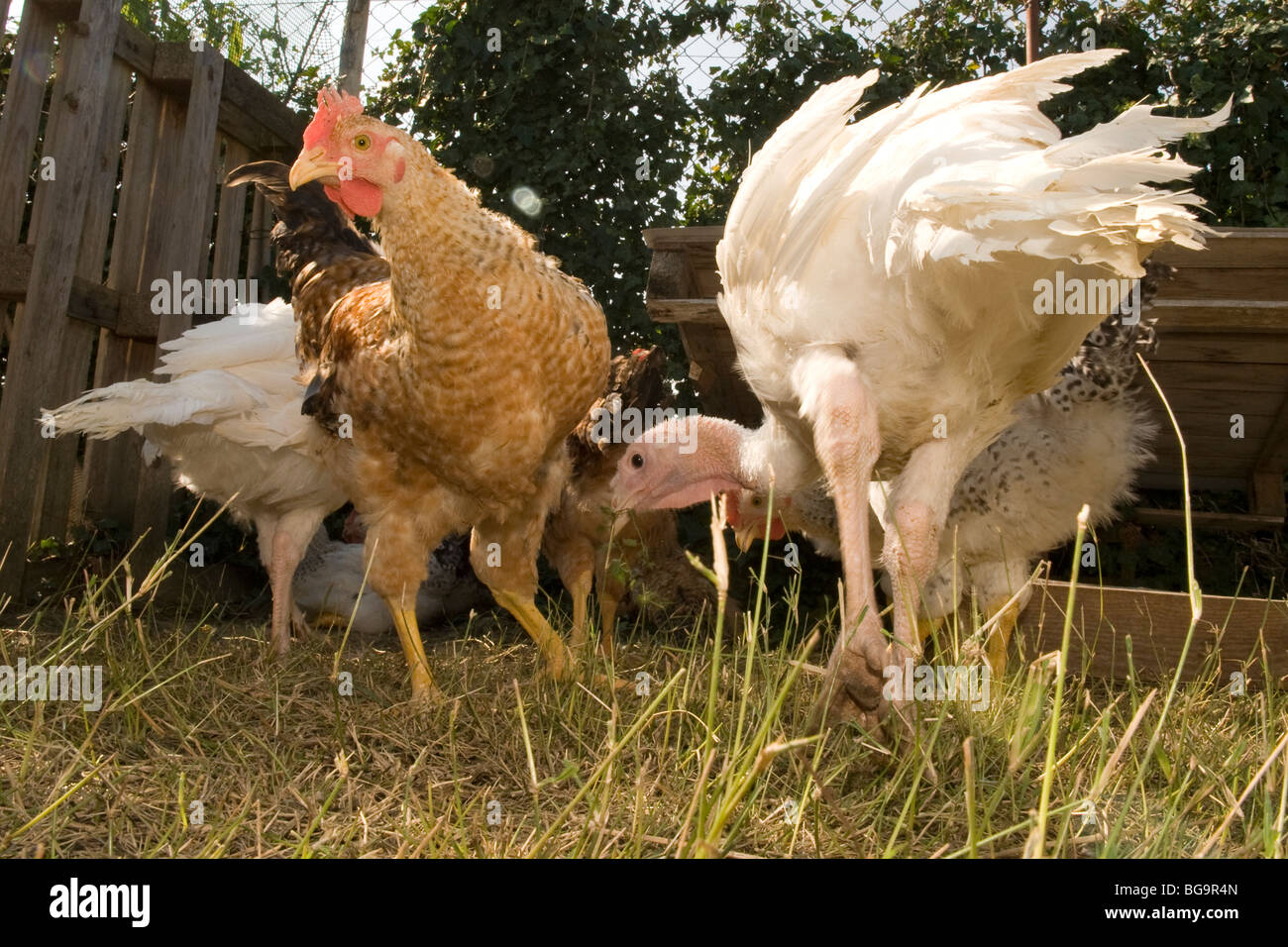 Chickens and turkeys in the henhouse - Stock Image