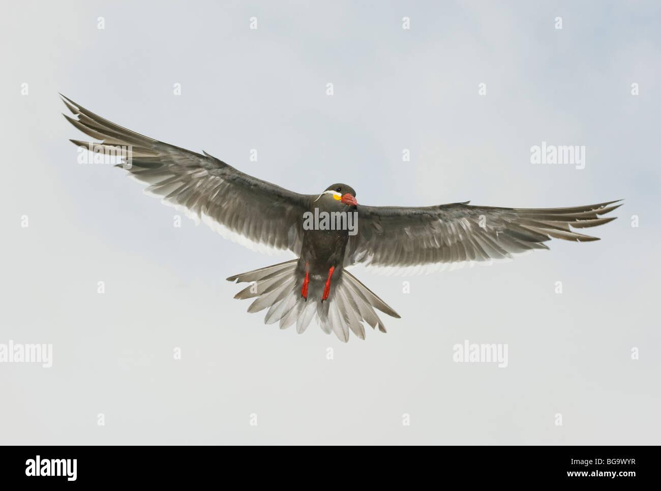 Inca Tern (Larosterna inca) In Flight, Pucusana, PERU Stock Photo