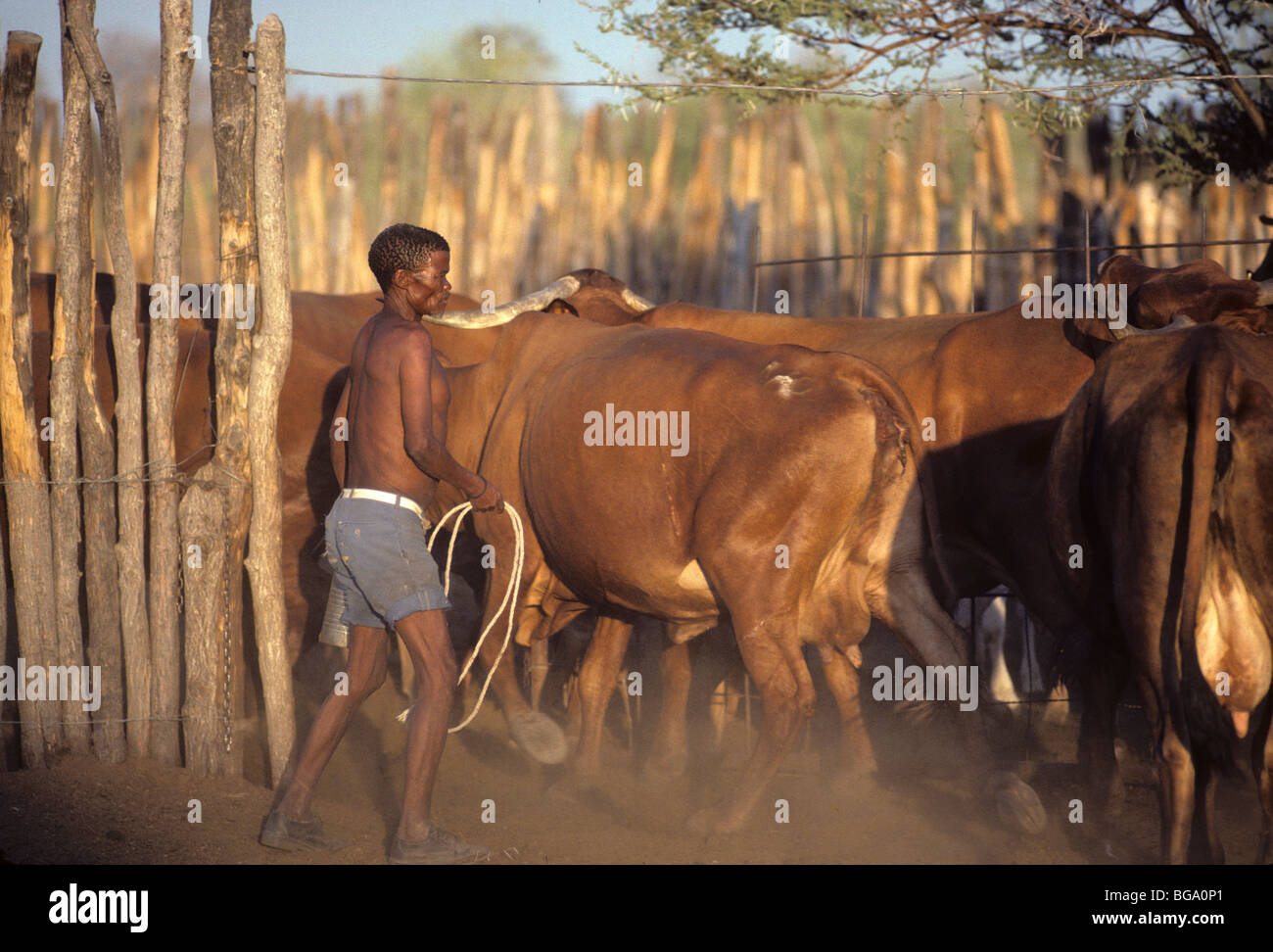 A San Bushman herding his cattle into a Kraal, Tchumkwe, - Stock Image