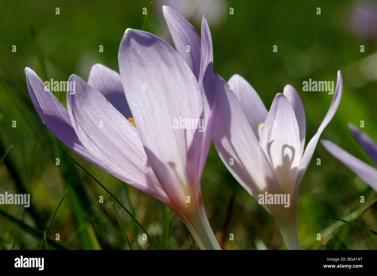 Crocus flower in Slovensky Raj National Park Slovakia - Stock Image
