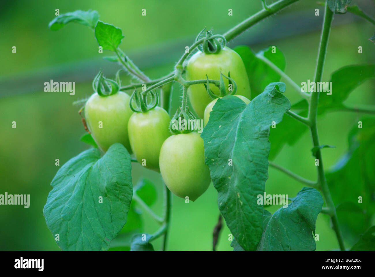 tomato plant - Stock Image