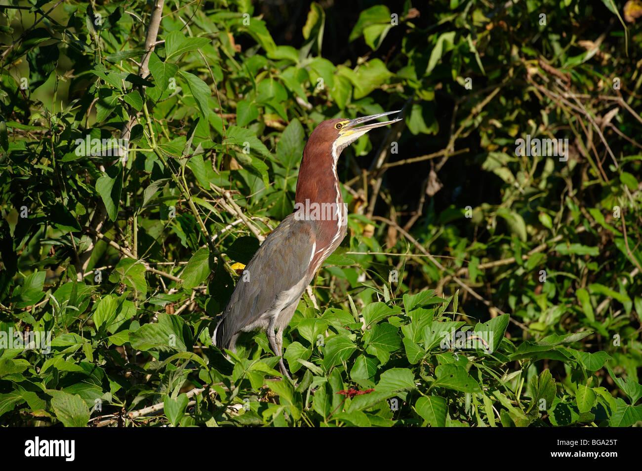 Rufescent Tiger Heron, Tigrisoma lineatum, PANTANAL, MATO GROSSO, Brasil, South America Stock Photo