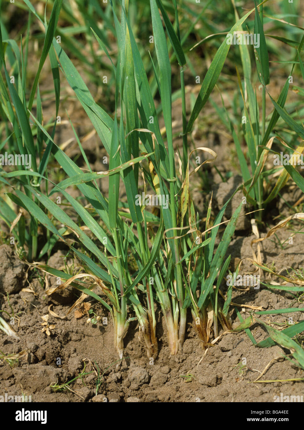 Common root rot (Cochliobolus sativus) browning at the bases of young barley plants - Stock Image