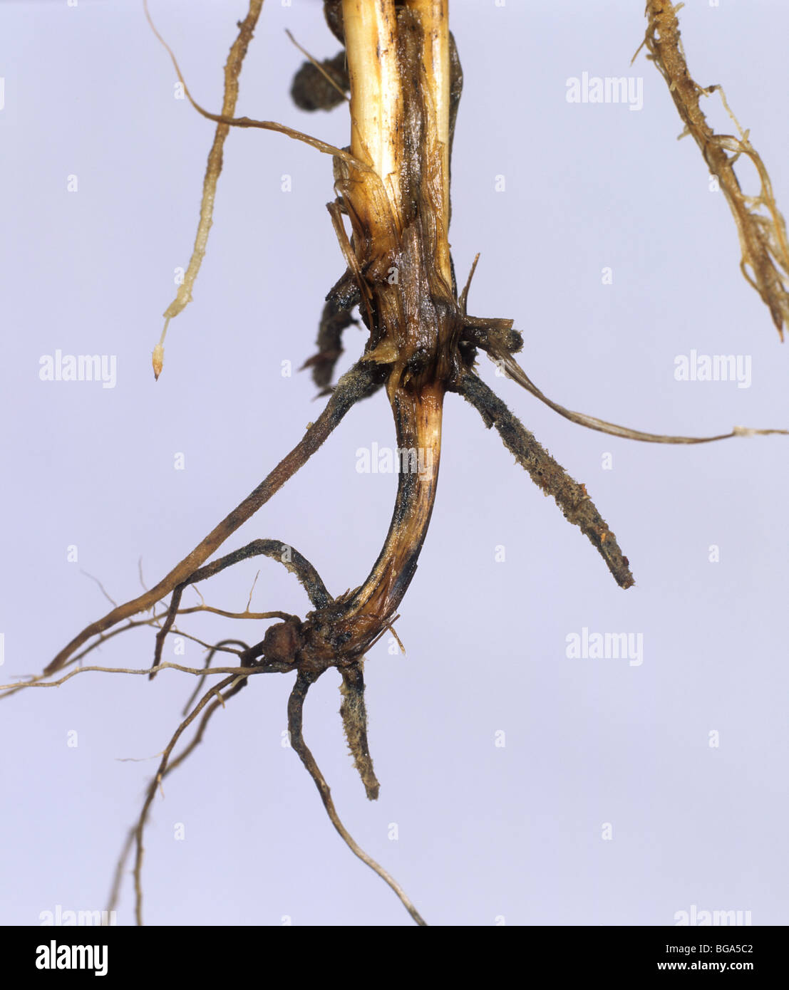 Common root rot (Cochliobolus sativus) discolouration of wheat sub crown internode - Stock Image