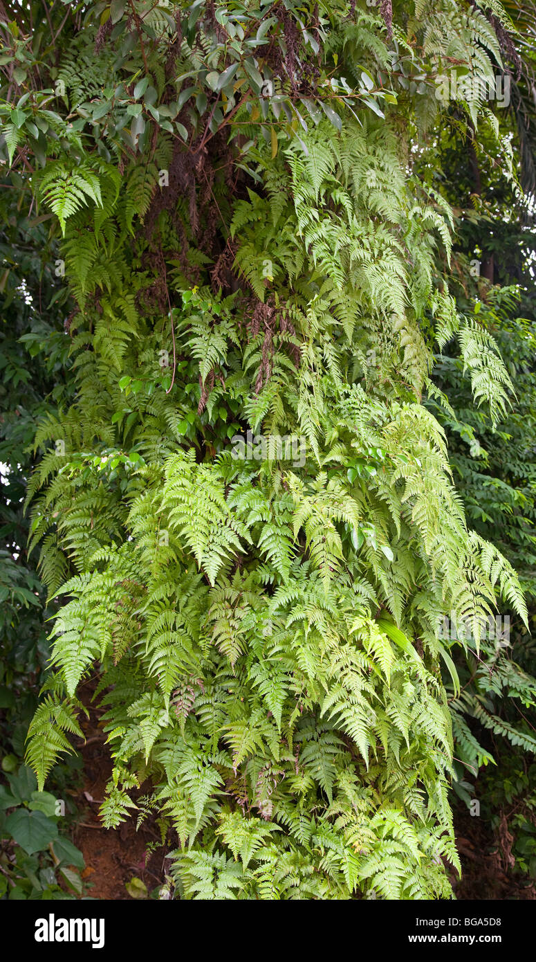 Epiphytic ferns growing on oilpalm trunk - Stock Image