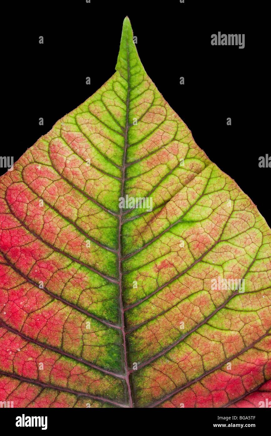 Colourful leaf vein detail, Poinsettia, Euphorbia pulcherrima, popular Christmas house plant. - Stock Image