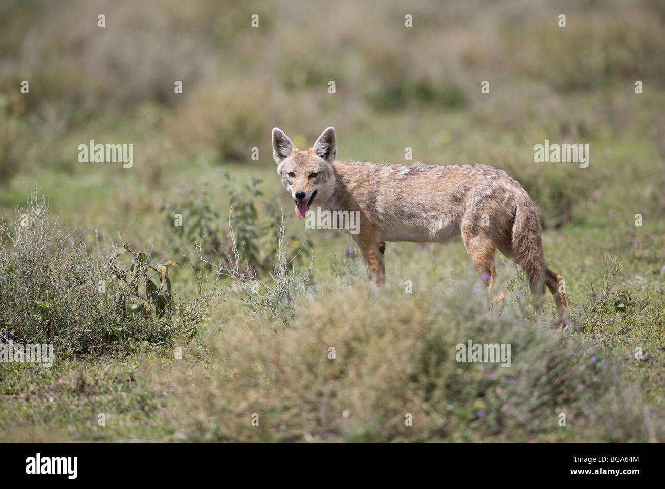 Common Jackal (Canis aureus) facing the camera and panting on the African plains - Stock Image