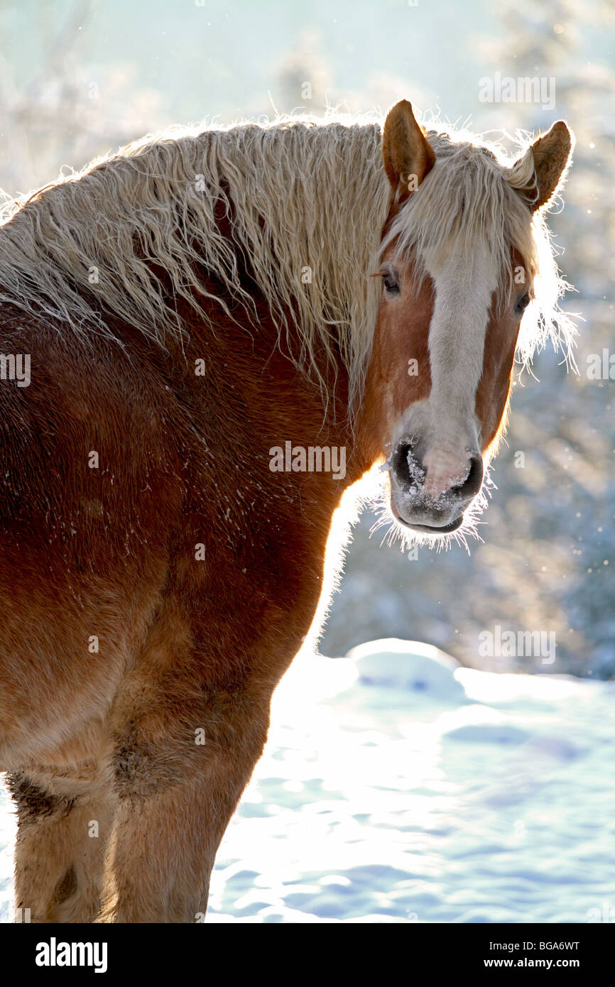 Draft Horse High Resolution Stock Photography And Images Alamy