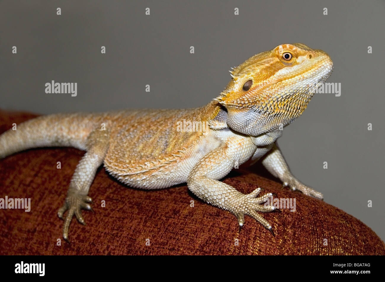 Lizard - Stock Image