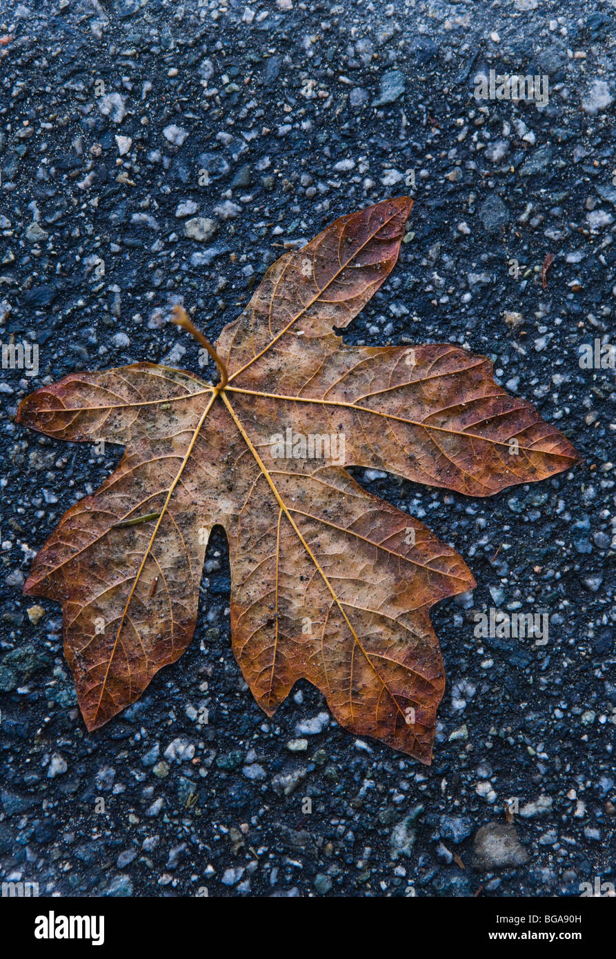 A dampend flattened Maple leaf on an asphalt pathway. Vancouver, BC, Canada. Stock Photo