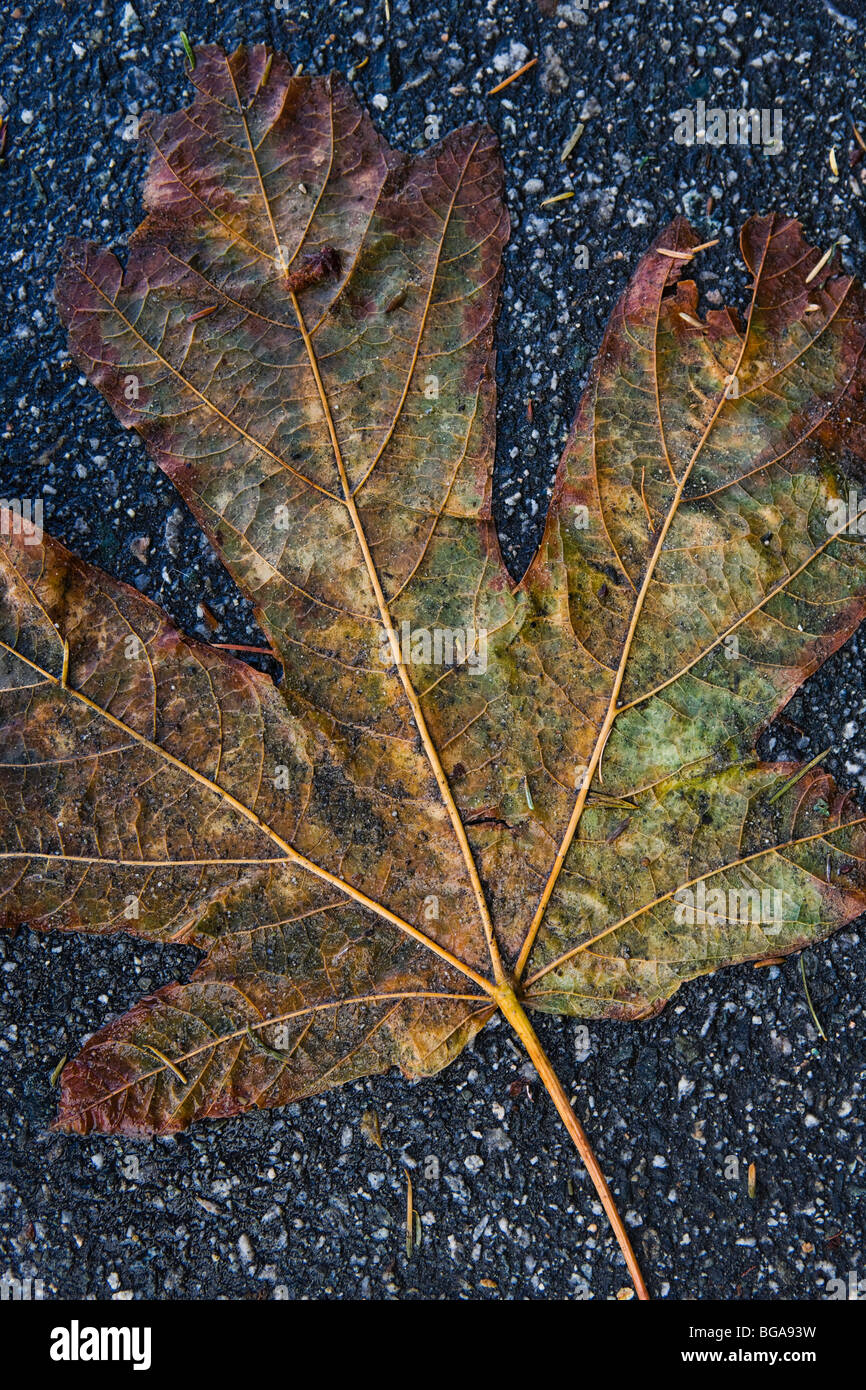A dampend flattened Maple leaf on an asphalt pathway. Vancouver, BC, Canada. - Stock Image