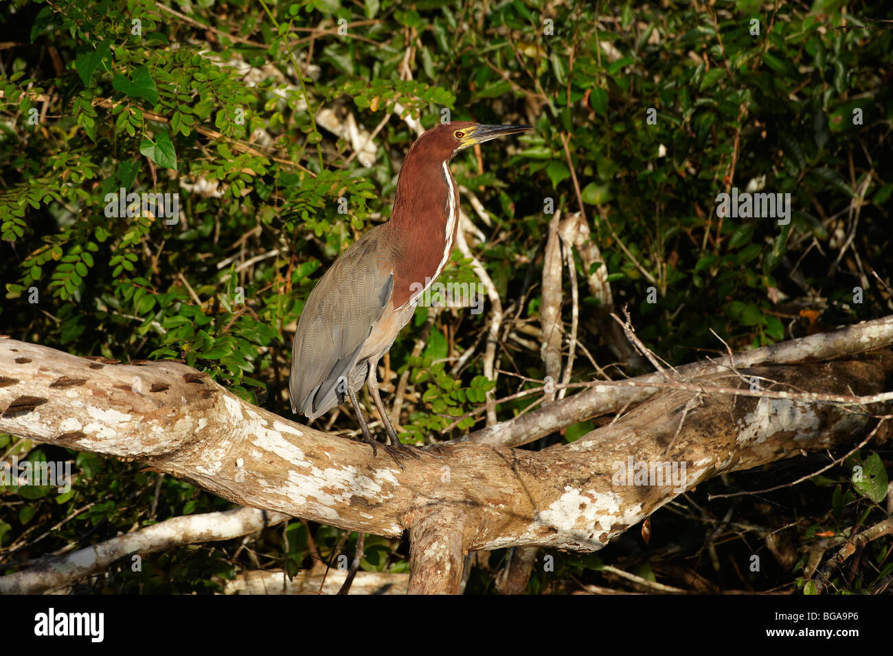 Rufescent Tiger Heron, Tigrisoma lineatum, PANTANAL, MATO GROSSO, Brasil, South America Stock Photo