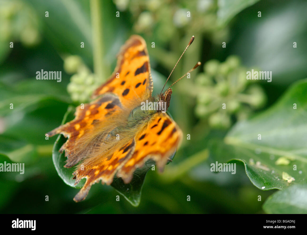 Comma butterfly (Polygonia c-album). Side view. - Stock Image