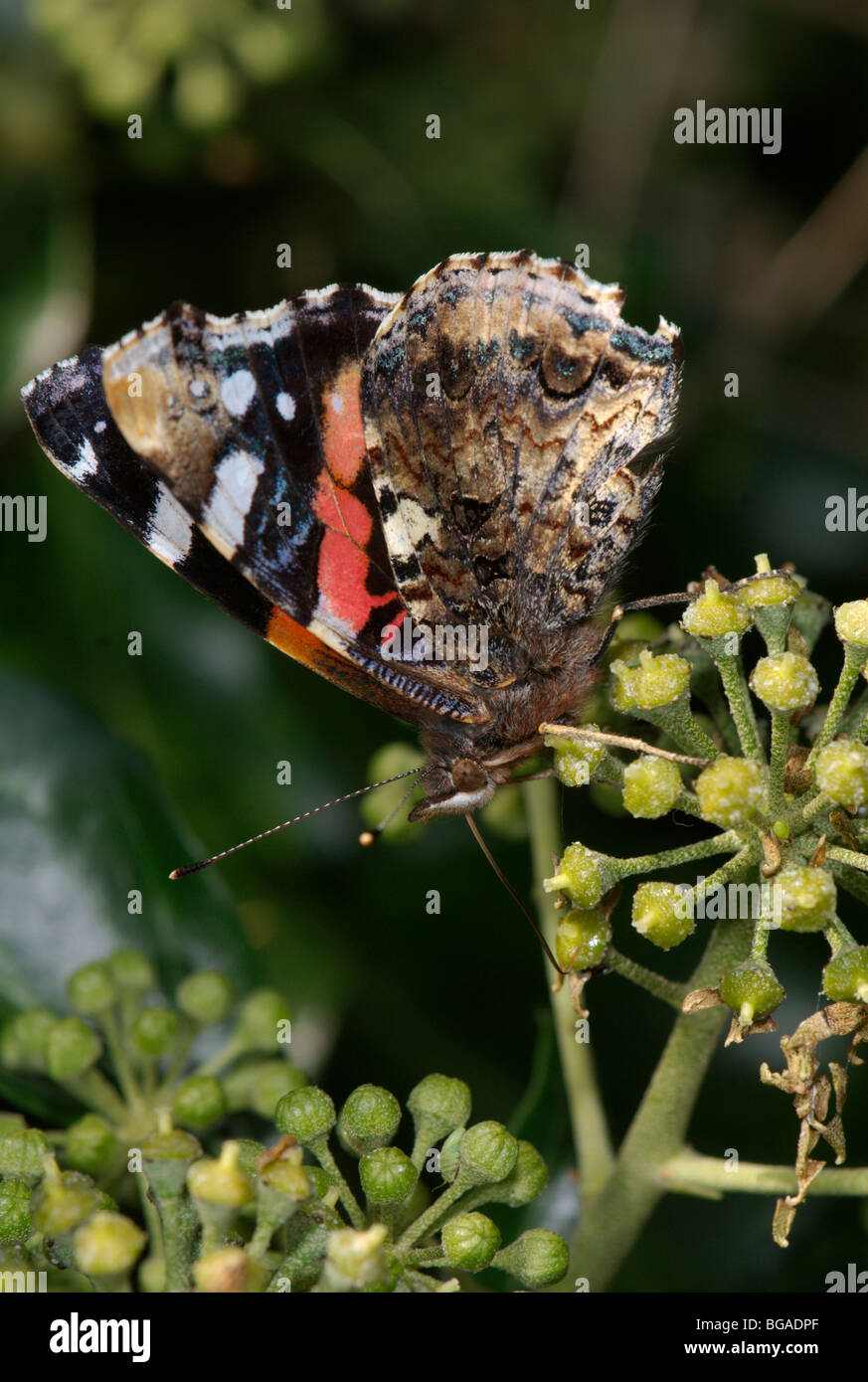 Red admiral butterfly (Vanessa atalanta). showing underwing.. - Stock Image