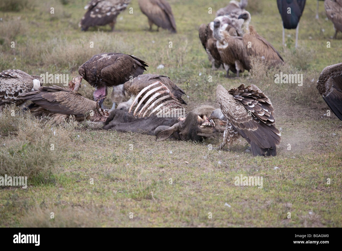 Vultures and Storks scavenging a wildebeest carcass on the East African Plains - Stock Image