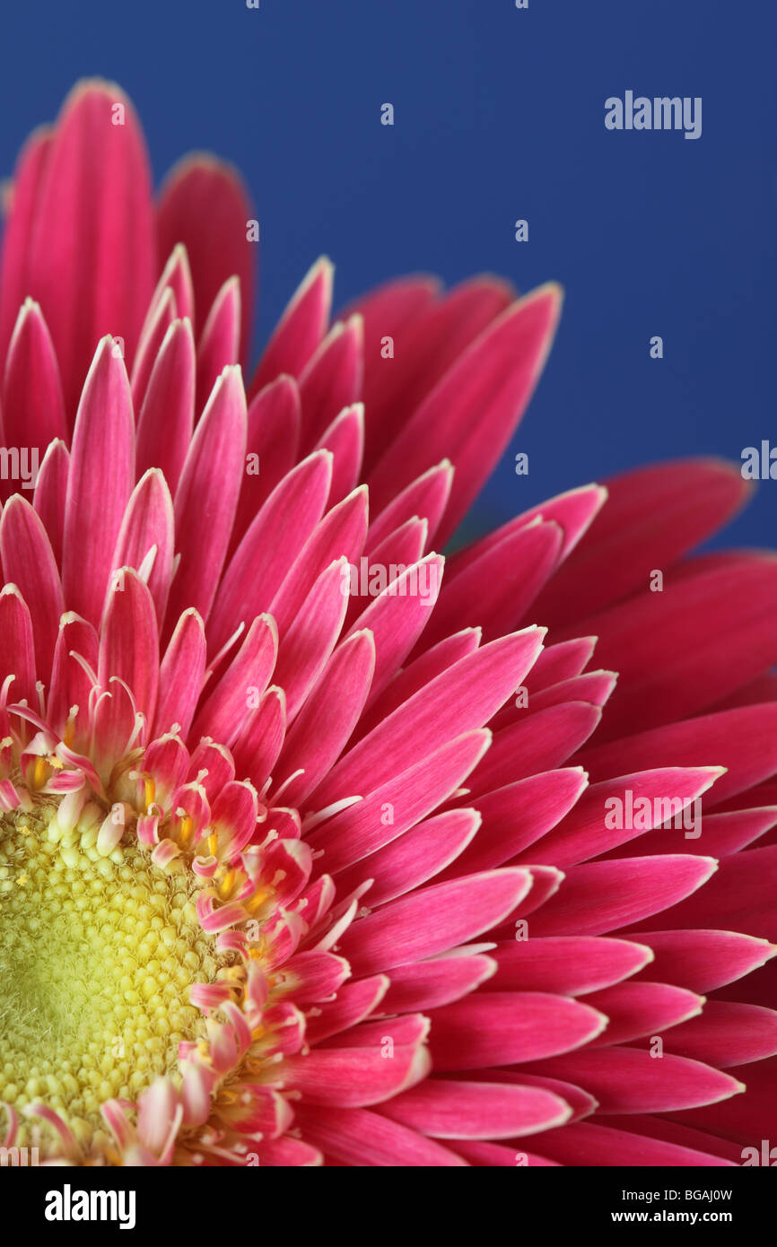 Close up of a pink Gerbera against a bright blue background - Stock Image