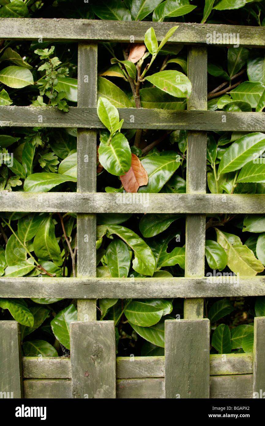 Laurel (Laurus nobilis) hedgerow behind wooden garden fence - Stock Image