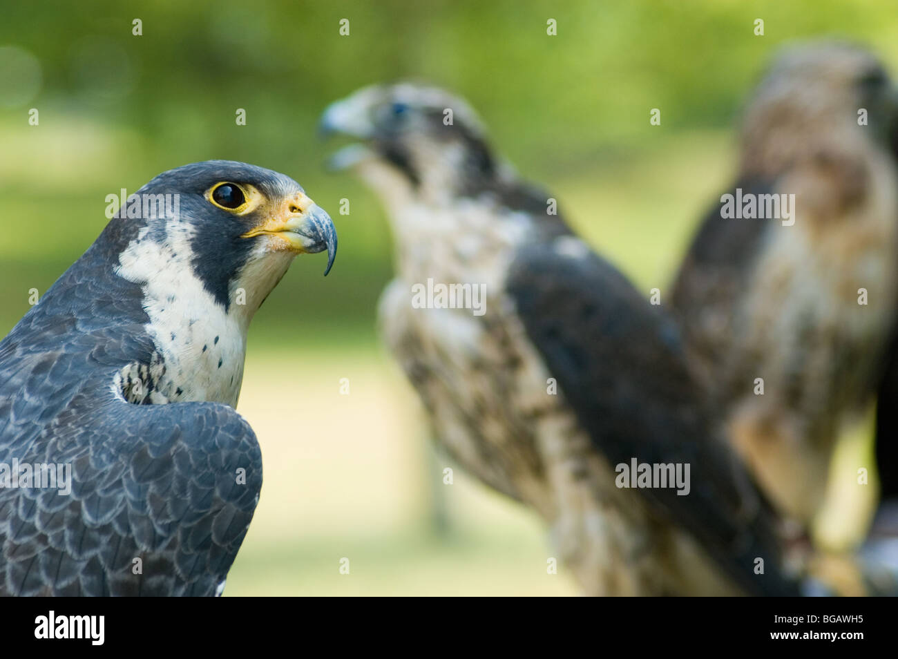 Birds Of Prey Marsh Hawk Ohiopyle Pennsylvania Stock Photo 27284465