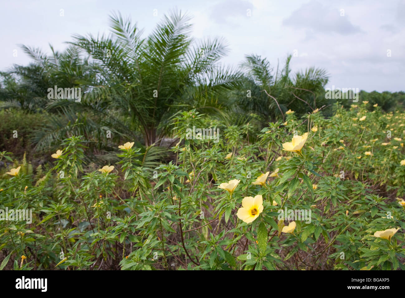 Flowering plants were planted along the roadway to attract pollinator species. The Sindora Palm Oil Plantation, Stock Photo