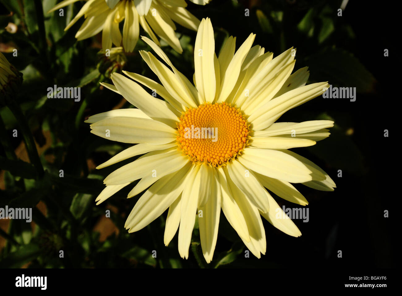 Leucanthemum Family Asteraceae Yellow Daisy Like Flower In Close Up