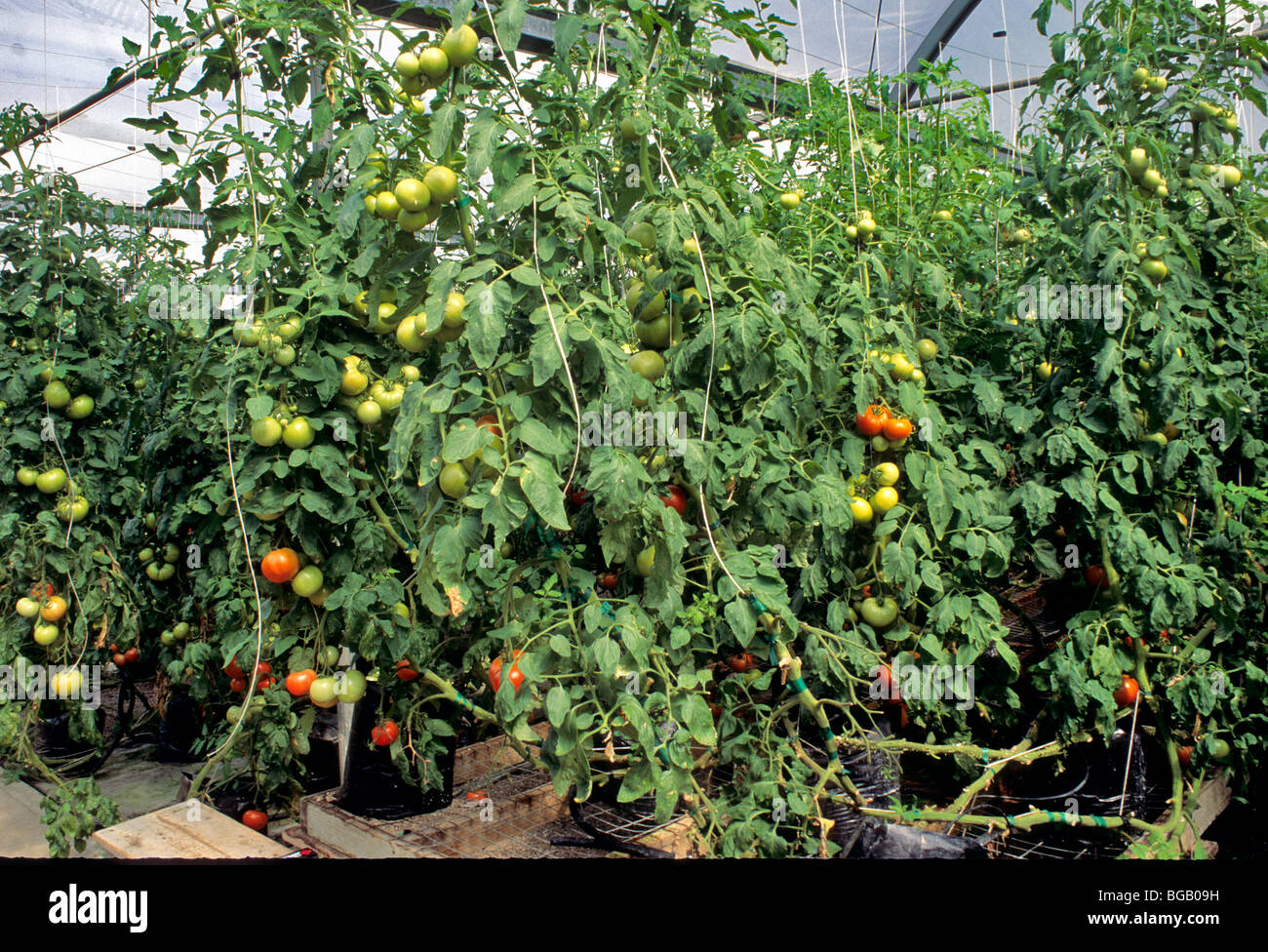 Tomatoes, greenhouse, hydroponic. - Stock Image