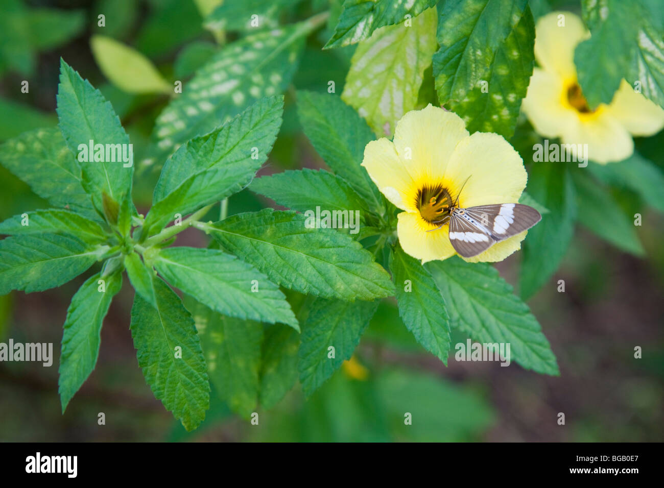 Moth on a flowering plant that was planted to attract pollinator species. The Sindora Palm Oil Plantation Stock Photo