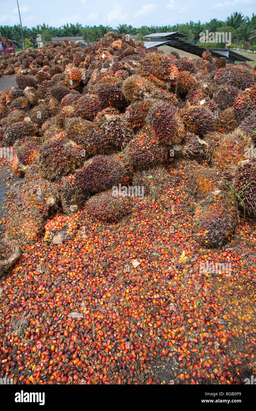 Pile of oil palm fresh fruit bunches (FFBs) and loose fruits await inspection and processing at the mill. Sindora Stock Photo
