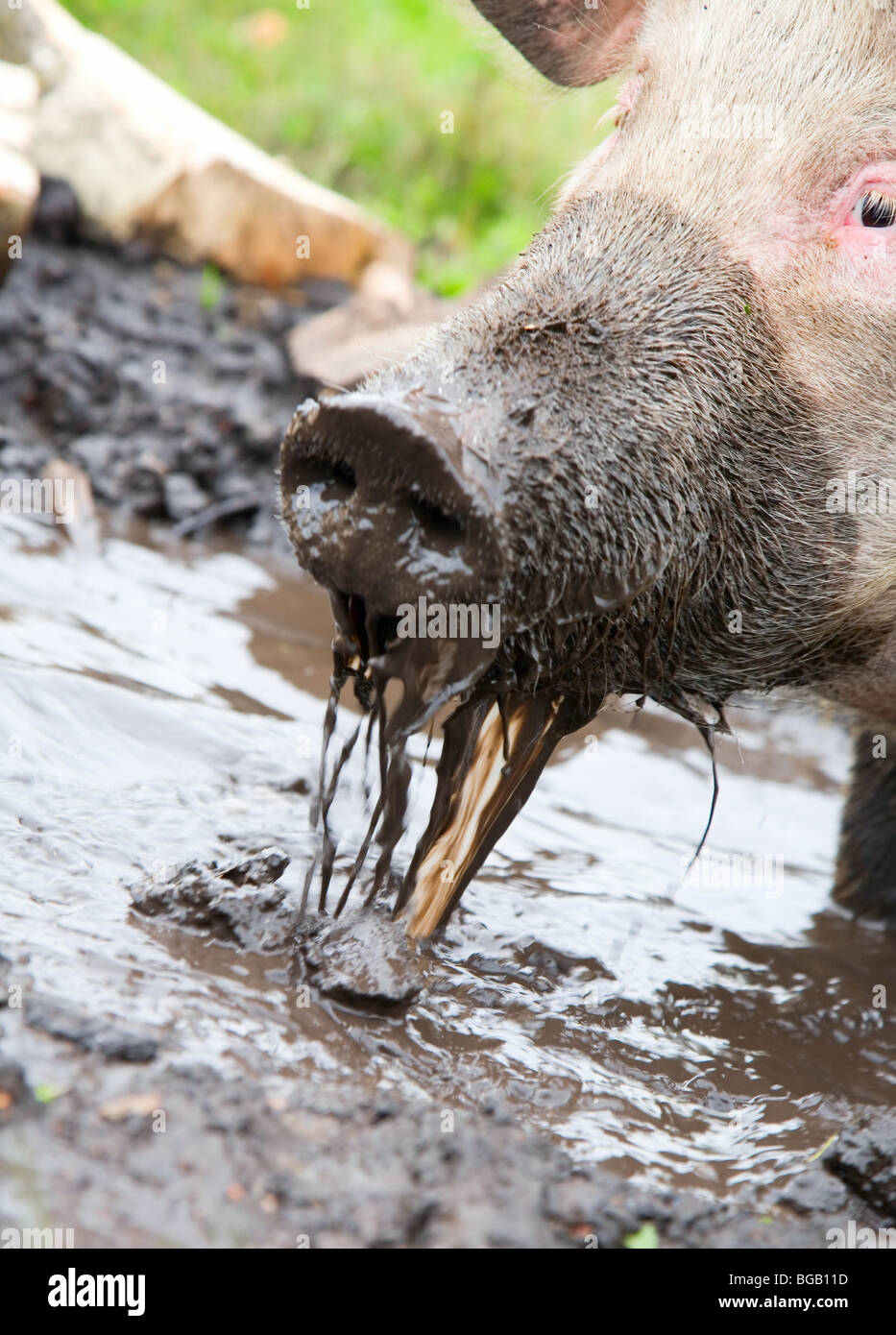 Pig sifting through puddle, because she is from Russia - Stock Image