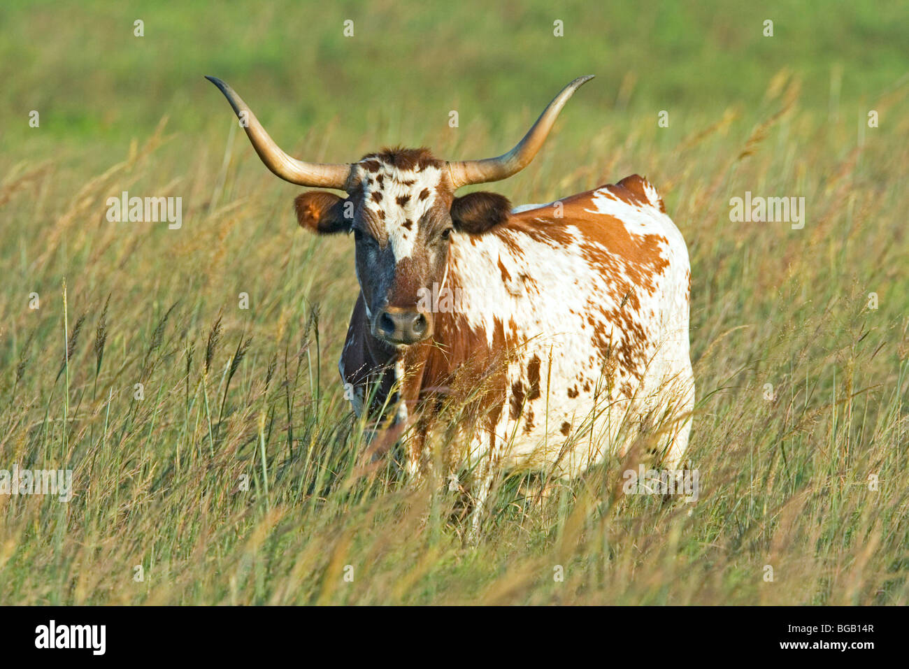 Texas Longhorn or Long-horned Cattle were once the prime beef cattle for North America. With improved breeding of - Stock Image