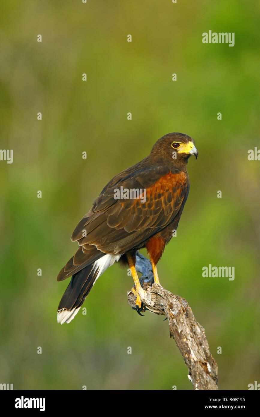 Harris' Hawk Parabuteo unicinctus Edinburg, Texas, United States 31 March Adult Accipitridae - Stock Image