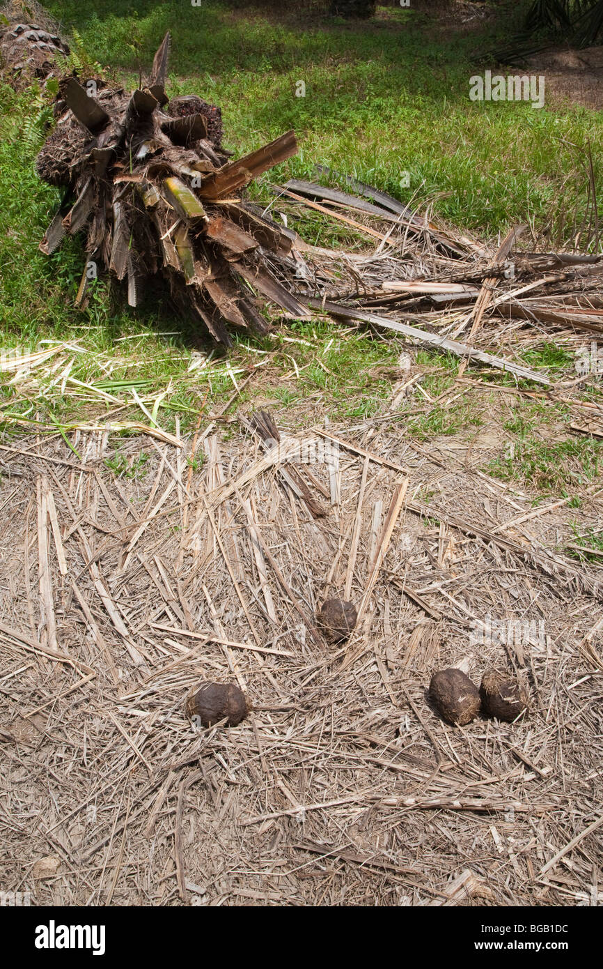 Elephant dung in foreground with uprooted palm tree in background. Elephants uproot palm trees to eat the tender - Stock Image
