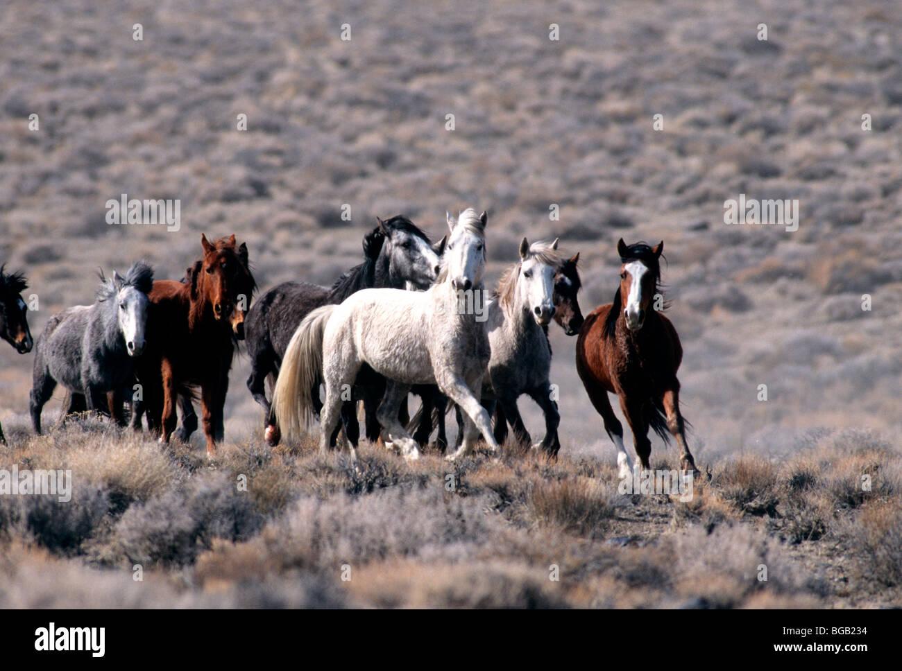Herd Of Wild Horses Running High Desert Nevada Stock Photo Alamy