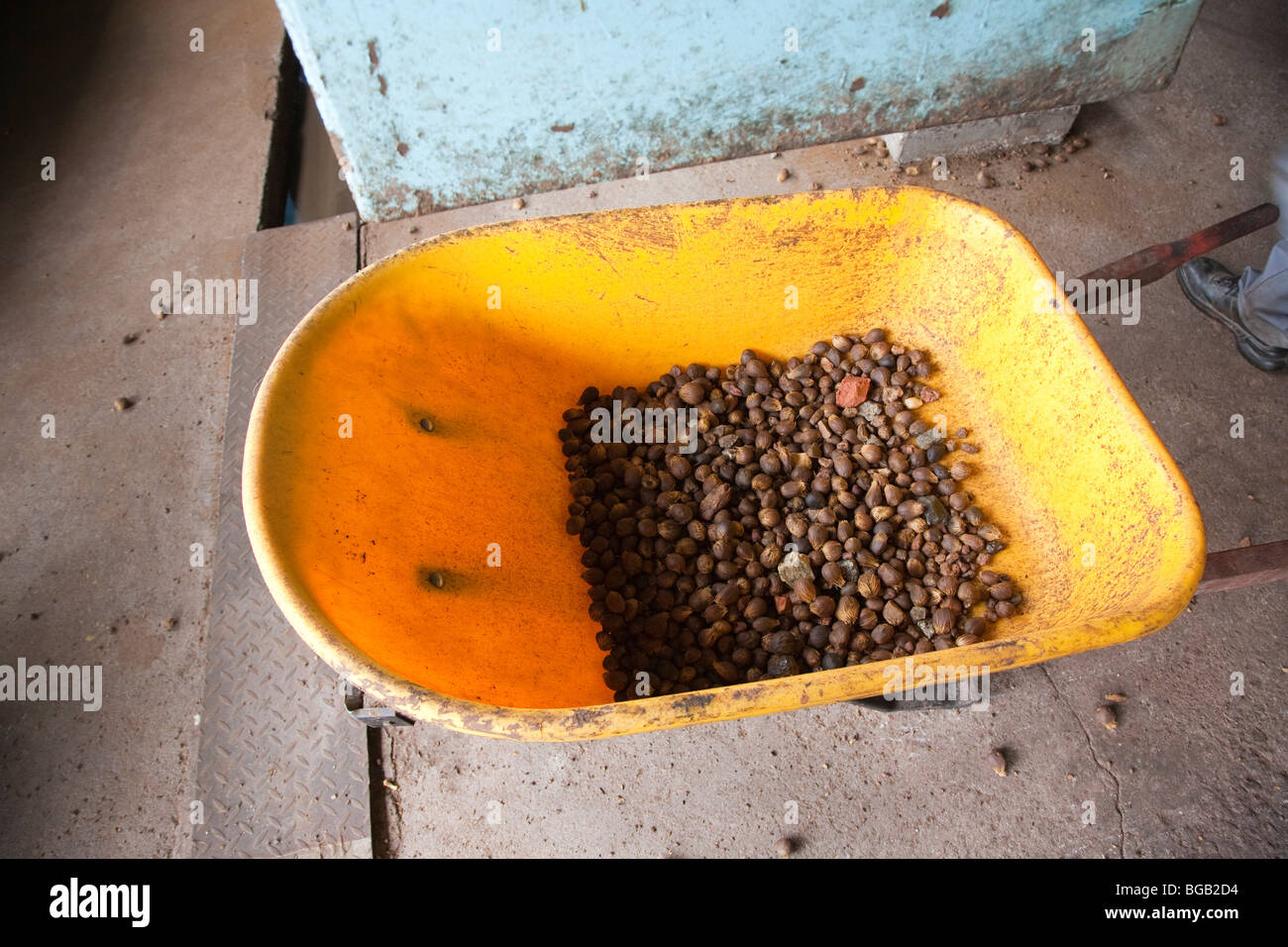 Oil palm kernels in a yellow wheel barrow. The Sindora Palm Oil Mill, Johor Bahru, Malaysia - Stock Image