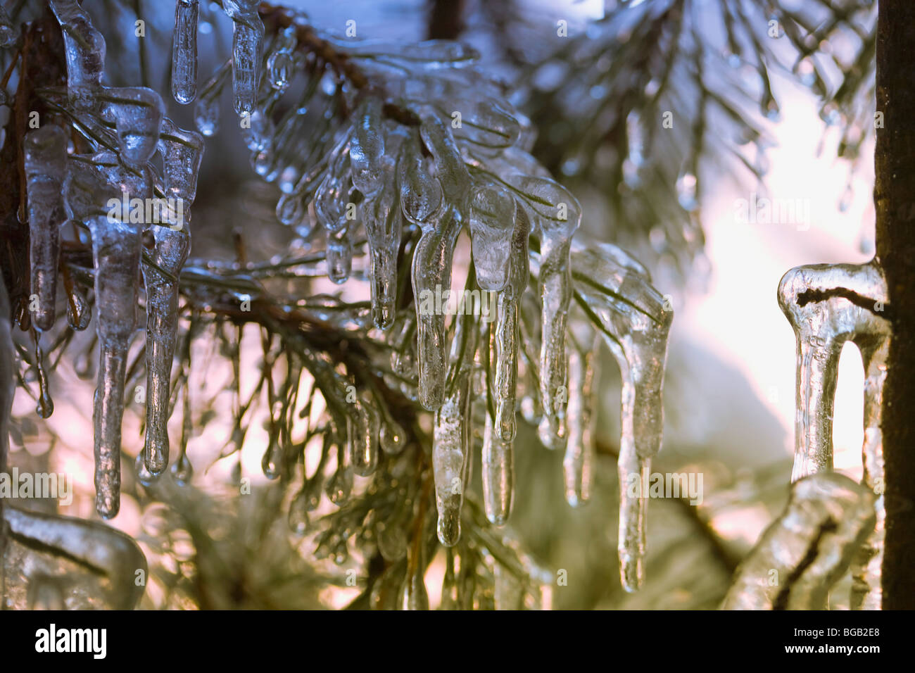 Icicles on a tree - Stock Image